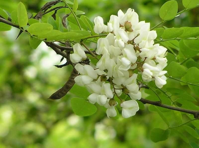 Poze Blog: Flori De Salcam Poze